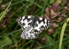 marbledwhite300617 Marbled Whites Magdalen Hill Down, Hampshire
